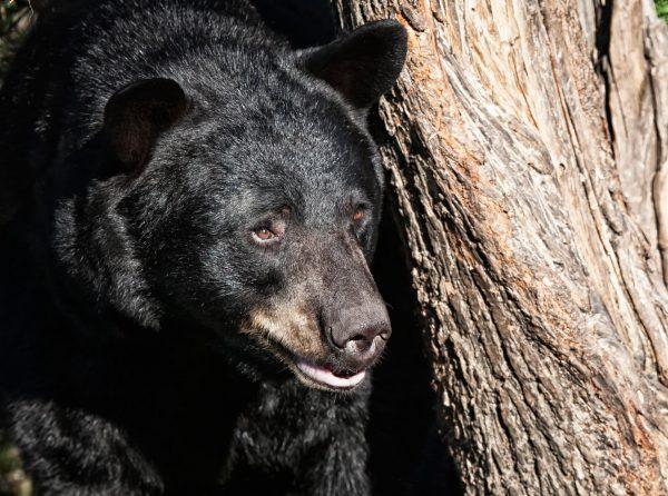 BEAR-HEAD - Bear Scents